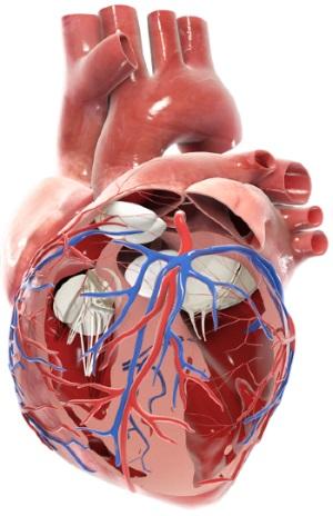 Herzerkrankungen: Anatomie des Herzens