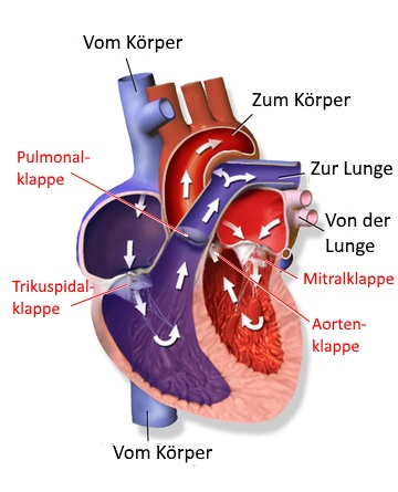 Echokardiographie (Herzecho) | Bildgebendes Diagnoseverfahren