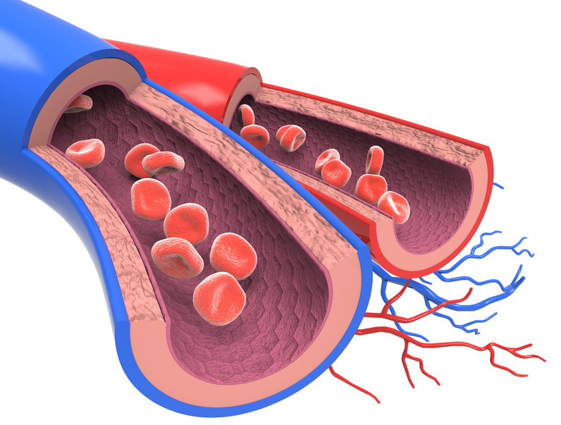 Arterie und Vene Querschnitt